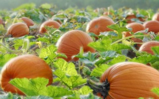 Pumpkins on the Field wallpapers and stock photos