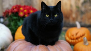 Black Fat Cat wallpapers and stock photos