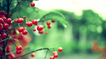 Wild Cherries wallpapers and stock photos