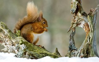 Squirrel wallpapers and stock photos