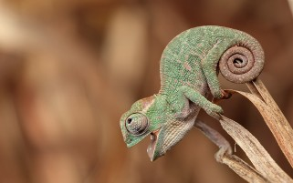Chameleon wallpapers and stock photos