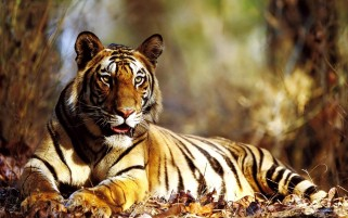 Tiger wallpapers and stock photos