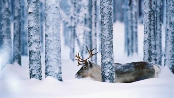 Previous: Sweden Reindeer