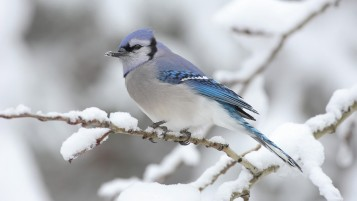 Next: Blue Jay