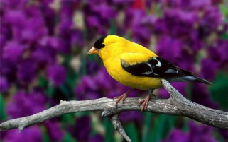 Goldfinch wallpapers and stock photos