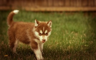 Ginger Husky wallpapers and stock photos