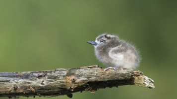 Tern Chick wallpapers and stock photos
