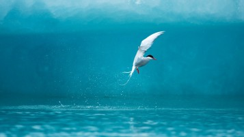 Arctic Tern wallpapers and stock photos