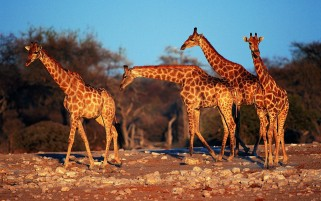 Giraffes wallpapers and stock photos