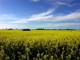 Rape Field wallpapers and stock photos
