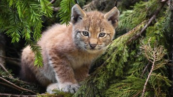 Feline Cub wallpapers and stock photos
