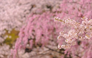 Blossom Trees wallpapers and stock photos