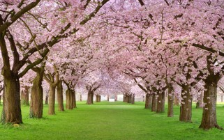 Cherry Blossoms Forest & Grass wallpapers and stock photos