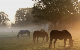 Fields Horses Trees Mist wallpapers and stock photos