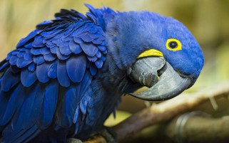 Hyacinth Macaw wallpapers and stock photos