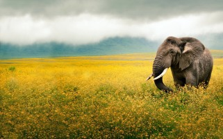 Elephant Yellow Field Tanzania wallpapers and stock photos