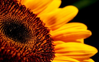 Sunflower wallpapers and stock photos