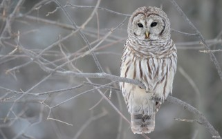 Grey  Owl wallpapers and stock photos