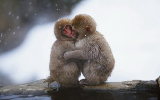 Macaque Love wallpapers and stock photos