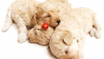 Puppies wallpapers and stock photos