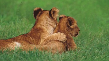 Lion Love wallpapers and stock photos