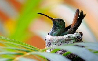 Hummingbird wallpapers and stock photos