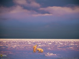 Polar Bears & Snow Landscape wallpapers and stock photos