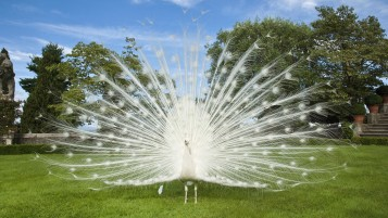 White Peacock wallpapers and stock photos