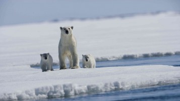 Polar Bears wallpapers and stock photos