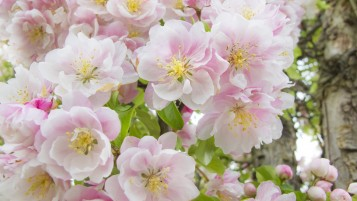 Apple Flower Blossoms wallpapers and stock photos