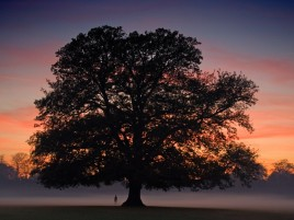 Random: Awesome Big Tree Sunset Fog