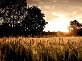 Wheat Field Dark Trees & Sun wallpapers and stock photos