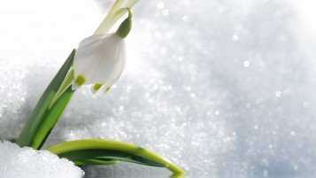 Snowdrops wallpapers and stock photos