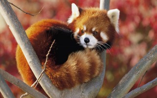 Red Panda wallpapers and stock photos