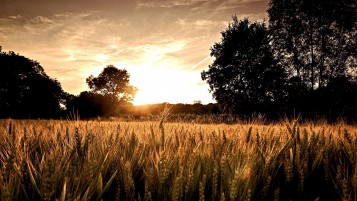 Random: Sunset Wheat Field & Trees