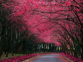 Pink Trees & Road Spring Time wallpapers and stock photos