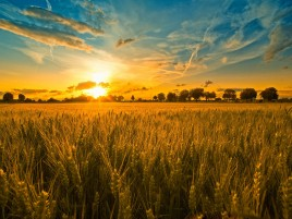 Sunset & Wheat Field wallpapers and stock photos