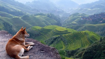 Dog & Rice Terraces wallpapers and stock photos