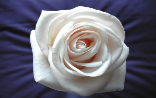 White rose wallpapers and stock photos