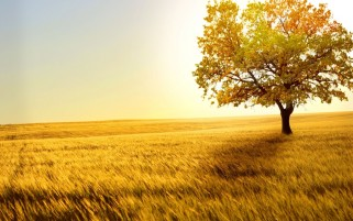 Yellow Tree Field & Sky wallpapers and stock photos