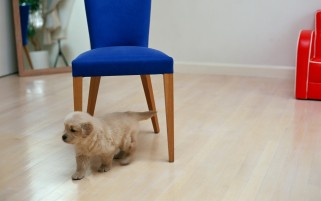 Cute Puppy & Blue Chair wallpapers and stock photos