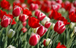 Tulips Spring wallpapers and stock photos
