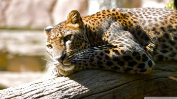 Leopard Resting wallpapers and stock photos