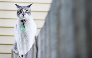 Random: Green Eyed Cat on a Fence