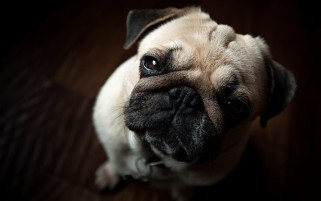 Mops Nahaufnahme wallpapers and stock photos