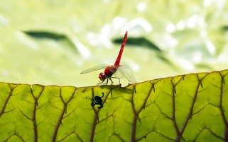 Dragonfly on Green Leaf wallpapers and stock photos