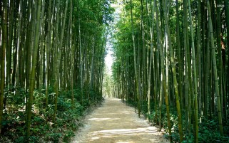 Bamboo Forest Korea Japan wallpapers and stock photos