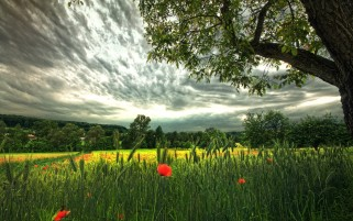 Wheat Poppies Trees Clouds wallpapers and stock photos