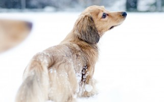 Dog in the Snow wallpapers and stock photos