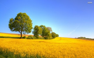 Yellow Rapeseed Field wallpapers and stock photos